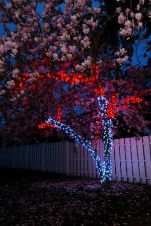 The owner of this magnolia tree wrapped the trunk with pure white LED mini-lights and covered the branches with red mini-lights. A string of 100 LED lights burns just 4W.   (Source: holidayleds.com)