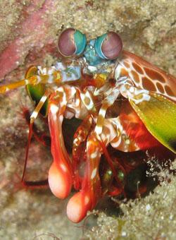 The mantis shrimp's club-like arms have a unique structure that makes them extremely strong, tough, and lightweight, which could be adapted to make better body armor for soldiers.   (Source: Silke Baron)
