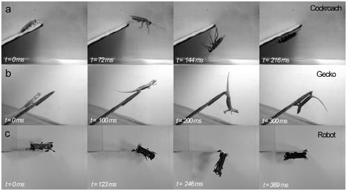 High-speed 180-degree flips performed by a cockroach (a), a house gecko (b), and the cockroach-inspired DASH robot (c).   (Source: PLoS ONE)