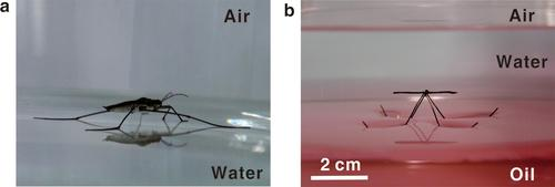 By imitating how a water strider insect (left) floats between air and water, researchers created a device (right) that floats between oil (pink) and water (colorless), aided by an oil-repellent copper oxide coating.   (Source: ACS Nano)