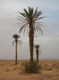 An extract of juice from the fruit of date palms like the ones shown here in Morocco could be used as the basis of a nontoxic anti-corrosive agent for aluminum alloys commonly used in aircraft structures. (Source: Wikimedia Commons/Erg Chebbi)