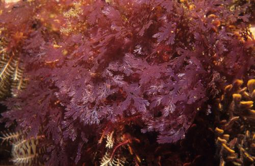 One of the latest ideas for creating sustainable fuels that don't compete with food crops is making feedstocks from seaweed, such as this red seaweed (Plocamium sp.).   (Source: Wikimedia Commons/Derek Keats)