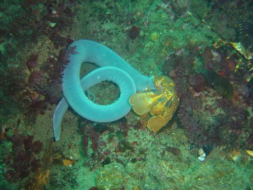 Researchers have discovered that the defensive slime exuded by hagfish may be a source of high-performance protein fibers that could replace petrochemical-based polymers, such as nylon and plastic fibers, and fabrics woven from them.   (Source: Wikimedia Commons/Peter Southwood)