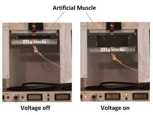 An electroactivated polymer (EAP) produces robotic muscles that lift 80 times their own weight. They also store energy that robots can use to operate themselves. The artificial muscle expands 5.5 times its original length while carrying a load in the form of Perspex blocks.   (Source: National University of Singapore)