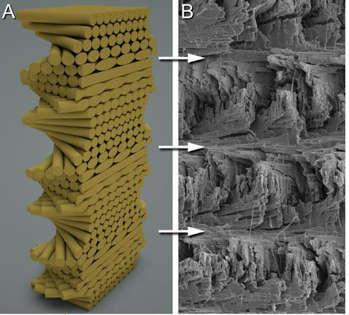 Helicoidal structure of the mantis shrimp club that inspired a new aerospace-grade carbon composite. A model, left, shows the rotated layers. Right, the actual structure photographed with a scanning electron microscope.