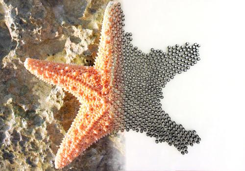 To demonstrate their abilities, the Kilobots have been programmed to form different shapes, including a starfish. 