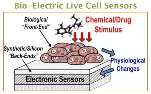 Living cells could be used as the front-ends for bio-electronic sensors that are more sensitive and lower power than electronics alone.