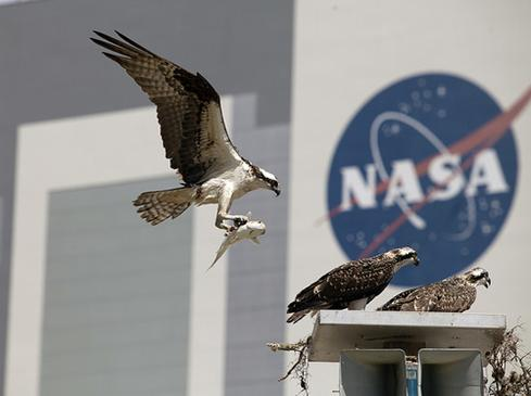 Ospreys nest near NASA's Vehicle Assembly Building, the largest single-story building in the world.   (Source: NASA/Daniel Casper)