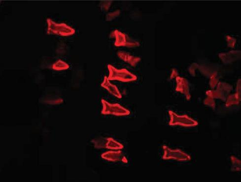 3D-Printed Microscopic Fish Might Cure Disease