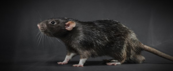 RATs 101: The Grimy Trojans That Scurry Through Remote Access Pipes